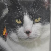 Domestic Shorthair/Domestic Shorthair Mix Cat for adoption in Venice, Florida - Tammi