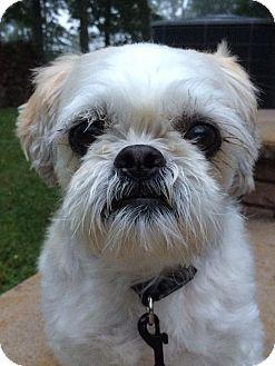 Shih Tzu Mix Dog for adoption in Hagerstown, Maryland - Bandi
