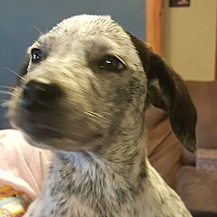 Adopt A Pet :: Storm - Springfield, MO