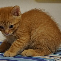 Adopt A Pet :: Garfield - Seminole, FL