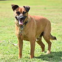 Adopt A Pet :: ROSCOE - Franklin, TN