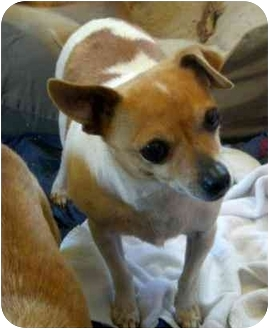 Chihuahua Mix Dog for adoption in Palmdale, California - Sugar