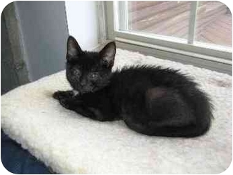 Domestic Shorthair Cat for adoption in Columbiaville, Michigan - Justin