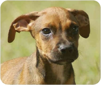 Jack Russell Terrier/Hound (Unknown Type) Mix Puppy for adoption in Windham, New Hampshire - Jack
