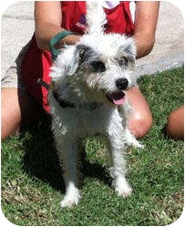 Jack Russell Terrier Dog for adoption in Encinitas (San Diego), California - Jackie