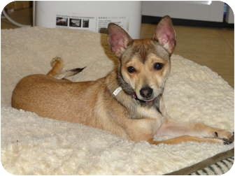 Chihuahua Mix Puppy for adoption in El Dorado Hills, California - Victor