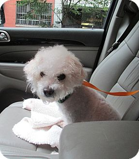 Poodle (Miniature) Dog for adoption in Long Beach, New York - Bentley