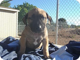 Labrador Retriever Mix Puppy for adoption in Kelseyville, California - Ollie