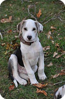 Catahoula Leopard Dog/Hound (Unknown Type) Mix Puppy for adoption in Sagaponack, New York - Lenny