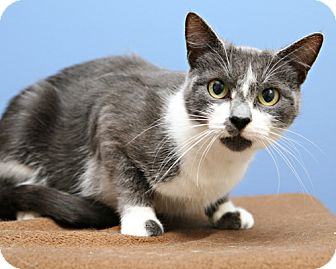 Domestic Shorthair Cat for adoption in Bellingham, Washington - Kit