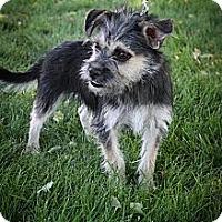 Adopt A Pet :: Cricket - Broomfield, CO