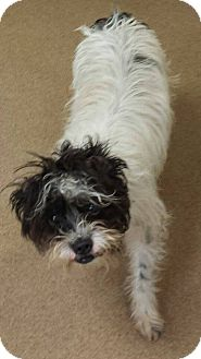 Shih Tzu Mix Puppy for adoption in Las Vegas, Nevada - Albert