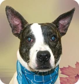 Boxer/German Shepherd Dog Mix Dog for adoption in Cincinnati, Ohio - Zeus