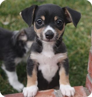 Rat Terrier/Terrier (Unknown Type, Small) Mix Puppy for adoption in Henderson, Nevada - Bobby