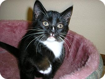 Domestic Shorthair Kitten for adoption in Salem, Oregon - Laverne