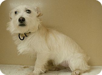 Westie, West Highland White Terrier/Norfolk Terrier Mix Dog for adoption in Lincolnton, North Carolina - Ava