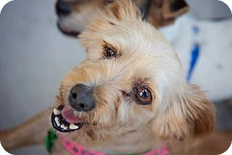 Terrier (Unknown Type, Small)/Yorkie, Yorkshire Terrier Mix Dog for adoption in Georgetown, South Carolina - rosie