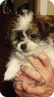 Shih Tzu Mix Puppy for adoption in Phoenix, Arizona - Iggy