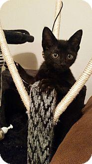 Domestic Shorthair Kitten for adoption in Houston, Texas - Onyx