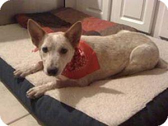 Cattle Dog Mix Puppy for adoption in Decatur, Georgia - Clark (Guest)