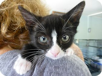 Domestic Shorthair Kitten for adoption in Quincy, California - Roscoe