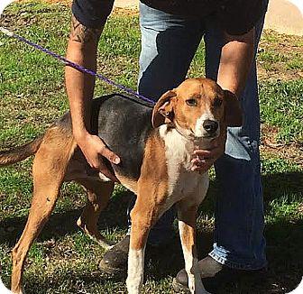 Treeing Walker Coonhound/German Shorthaired Pointer Mix Dog for adoption in Lumberton, North Carolina - Bob