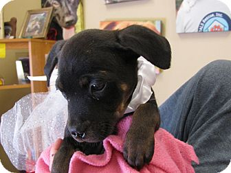 Terrier (Unknown Type, Small) Mix Puppy for adoption in Groton, Massachusetts - Miracle