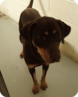 Labrador Retriever/Blue Heeler Mix Dog for adoption in Cannelton, Indiana - Reesie