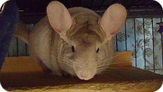 Chinchilla for adoption in Lindenhurst, New York - Momma