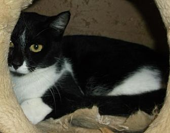 American Shorthair Cat for adoption in Orangeburg, South Carolina - Chloe