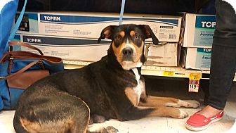 Rottweiler/Hound (Unknown Type) Mix Dog for adoption in Cincinnati, Ohio - Cheese