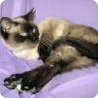 Siamese Cat for adoption in Powell, Ohio - Katula