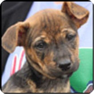 German Shepherd Dog/Labrador Retriever Mix Puppy for adoption in Bloomington, Illinois - Millicent