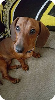 Dachshund Dog for adoption in Providence, Rhode Island - Misty Mae