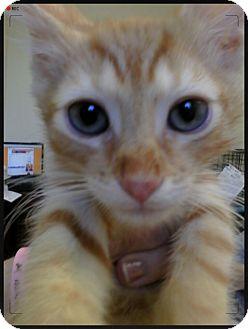 Domestic Shorthair Kitten for adoption in Trevose, Pennsylvania - Cesaro