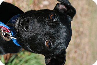 Miniature Pinscher/German Pinscher Mix Puppy for adoption in Attalla, Alabama - Flash