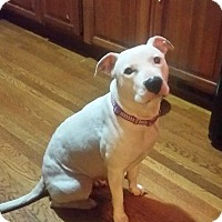 American Pit Bull Terrier/Staffordshire Bull Terrier Mix Dog for adoption in Columbus, Ohio - Sheba (Foster or Adopt)