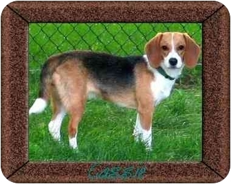 Beagle Dog for adoption in Portland, Ontario - Cassie