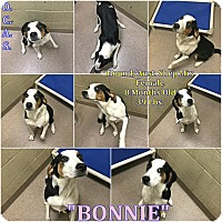 Adopt A Pet :: 1-8 Bonnie - Triadelphia, WV
