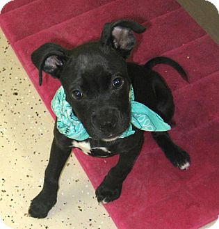 Boxer Mix Puppy for adoption in Pilot Point, Texas - Gabbie