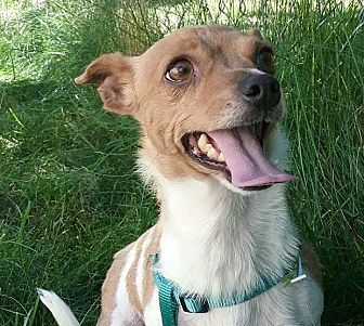 Smooth Fox Terrier/Chihuahua Mix Dog for adoption in Thompson Falls, Montana - Sonya