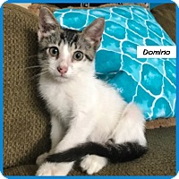 Adopt A Pet :: Domino - Miami, FL