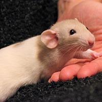 Adopt A Pet :: Queso - Saanichton, BC
