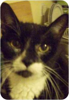 Domestic Shorthair Cat for adoption in Medford, Massachusetts - Marley