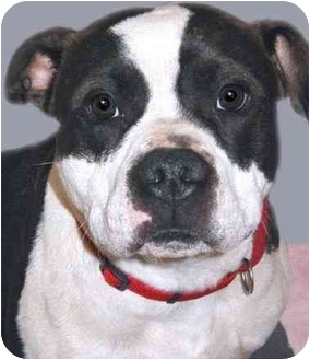 Pit Bull Terrier Dog for adoption in Grass Valley, California - Knuckle