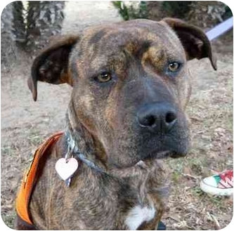 Boxer/American Staffordshire Terrier Mix Dog for adoption in Van Nuys, California - Cashmere