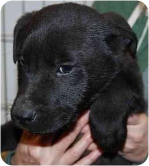 Labrador Retriever/Chow Chow Mix Puppy for adoption in Las Vegas, Nevada - Smiley