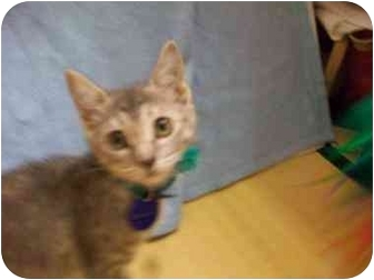 American Shorthair Kitten for adoption in Orlando, Florida - Caren