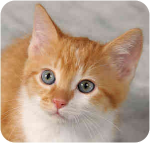 Domestic Shorthair Kitten for adoption in Chicago, Illinois - Comet