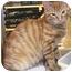 Photo 1 - Domestic Shorthair Kitten for adoption in Colmar, Pennsylvania - Doug